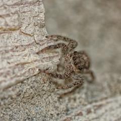 185/365 - Gaze into My Eyes (Keeperofthezoo) Tags: hairy canada macro rock closeup spider eyes furry britishcolumbia arachnid animalia arachnida araneae salticidae araneomorphae entelegynae