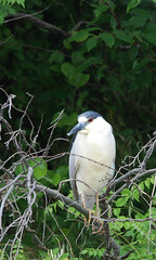 "Black-crowned night heron • <a style=""font-size:0.8em;"" href=""http://www.flickr.com/photos/75865141@N03/14425358574/"" target=""_blank"">View on Flickr</a>"