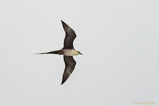 Long-tailed Skua (Long-tailed Jaeger) (Stercorarius longicaudus) summer adult in flight