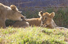 You do that one more time.... (San Diego Shooter) Tags: sandiego lion lions sandiegozoo lioncubs sandiegozoowildanimalpark sandiegozoosafaripark