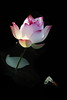 VVIMG_VQ4028 (HL's Photo) Tags: plant flower macro nature lily natural lotus creative 花 effect blooming 荷花 蓮花 macroflower