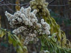 Frosty fuzz flower. (SrslyKris) Tags: plant money moss walk burnaby burnabymountain snowberry kmphot