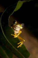 Lemur Leaf Frog- Agalychnis lemur (MattSullivan) Tags: macro nature canon costarica wildlife amphibian frog frogs treefrog herps agalychnis leaffrog canon5dmarkiii lemurleaffrog agalychnislemur costaricanamphibianresearchcenter