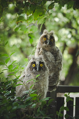 (Katarina Drezga) Tags: cute bird birds owl cubs outdoorphotography nikond3100
