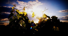 Vines at Sunrise. (god_save_the_green) Tags: sky france nature clouds sunrise vines flora environment vignes lomoeffect flore environnement grapevines olympusepl1 godsavethegreen july2014 mathildeaudiau