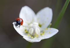 Coccinelle ... (sosivov) Tags: red summer white macro sweden ladybird insecte coccinelle parnassiapalustris