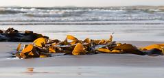 Seaweed lit by the setting sun (Kees Waterlander) Tags: sunset seaweed scotland zonsondergang unitedkingdom islay lagavulin zeewier