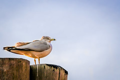 Seagull (M$ingh.) Tags: nyc newyorkcity winter sea bird sunshine evening coast pier glow manhattan seagull navy shore ellisisland libertyisland canoneosrebel canont4i