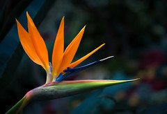 Bird of Paradise (Gabriel Tompkins) Tags: park pink flowers blue orange usa sunlight plant blur flower macro green floral beautiful beauty closeup america botanical prime washington petals flora nikon colorful spokane shadows dof bokeh vibrant arboretum exotic birdofparadise greenhouse shade pacificnorthwest 60mm nikkor dslr washingtonstate botany pnw shady manitopark 2014 strelitzia micronikkor d90 strelitziareginae craneflower inlandnorthwest gaiserconservatory nikond90 60mmf28gmicro 60mmf28g tronam gabrieltompkins tronamcom