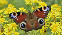Ragwort Peacock (Ralph J Clark) Tags: butterfly peacock surrey nationalgeographic papercourt nikonafsmicronikkor60mmf28ged