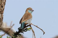 Uraeginthus angolensis (Southern Cordon-bleu) (Blue Waxbill) (Nick Dean1) Tags: tanzania birdwatcher serengetinationalpark bluewaxbill uraeginthusangolensis thewonderfulworldofbirds southerncordonbleu birdperfect