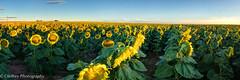 2JO_2045 Panorama-1195 (OJeffrey Photography) Tags: panorama yellow sunrise nikon colorado pano sunflowers sunflower co d800 sunflowerfield fieldofsunflowers jeffowens ojeffrey ojeffreyphotography