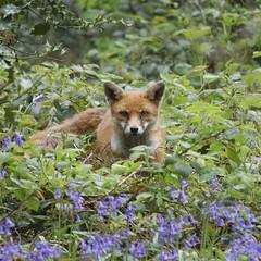 bluebellfox square (gerardcoyne41) Tags: bluebells fox