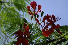 Flame Tree (ddsnet) Tags: flowers plant sony taiwan cybershot   taoyuan flametree      sungreen rx10
