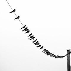 Swallows on line... (Jaedde & Sis) Tags: swallows many repetition line vanishing square 15challengeswinner flickrchallengegroup flickrchallengewinner challengefactorywinner unanimous thepinnaclehof tphofweek273 storybookwinner sweep challengegamewinner