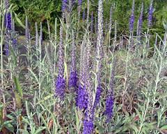 Veronica spicata subsp. incana