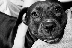 Grin (AlyKPhoto) Tags: blackandwhite bw rescue dog pet love loving happy friend memories happiness canine pit pitbull bully bestfriend mydog loyal staffordshireterrier