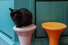 Le chat noir (Sergio  Bruno) Tags: street orange pet white black amsterdam cat vintage restaurant chat seat negro restaurante banco gato sit sentado stool nieuwmarkt mascota straat taburete zeedijk latei asiento