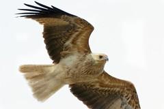 Close inspection (Geoff Main) Tags: kite bird nationalpark flickr australia act birdofprey birdinflight whistlingkite namadginationalpark gudgenbynaturereserve canon7d canonef300mmf28lisiiusm canonefextender14xiii