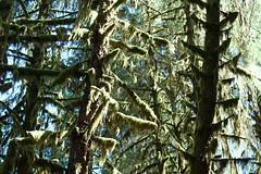 Sun getting into rainforest, but no rain (daveynin) Tags: tree green moss rainforest branch nps bark trunk olympic deaftalent deafoutsidetalent deafoutdoortalent
