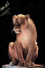 Lioness (محمد بوحمد بومهدي) Tags: travel animal animals germany munich bayern deutschland zoo nikon europe circus lion lioness حيوانات d600 سفر ميونخ المانيا حيوان أوروبا حديقة ألمانيا نيكون أسد اوروبا سيرك لبوة بوحمد buhamad ترحال europeonflickr لبؤة أمحمدبوحمد