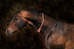 akhal teke (margauxgoudal) Tags: light portrait horse art neck head background free stile stallion equine russianfederation teke akhal