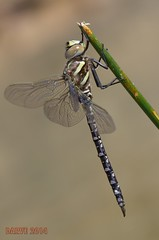 Common Hawker (Aeshna juncea) ( BlezSP) Tags: libélula pyrenees pirineos odonata aeshnidae commonhawker aeshnajuncea