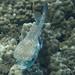 boxfish IMG_0639s