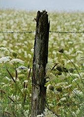 Holding in the Queen (blamstur) Tags: flowers fence blog post f barbedwire princeedwardisland wildflowers pei queenanneslace fencepost 15challengeswinner peitripsd2