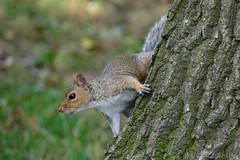 Grey Squirrel (Bri_J) Tags: park nikon squirrel sheffield botanicalgardens greysquirrel sciuruscarolinensis d3200