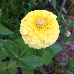 "We plant zinnias in our raised bed garden every year. Their bright blooms attract pollinators and their scent is believed to deter garden pests like the tomato hornworm. They also make our garden a beautiful spot to visit!  #garden #flower • <a style=""font-size:0.8em;"" href=""http://www.flickr.com/photos/54958436@N05/15258630995/"" target=""_blank"">View on Flickr</a>"