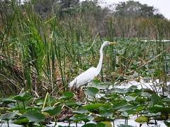Great Egret (craighossack74) Tags: florida fortlauderdale everglades evergladesnationalpark greategret browardcounty ardeaalbaegretta