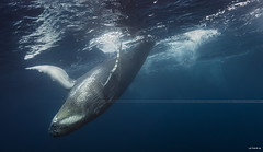 Dancing queen. (Seb97470) Tags: underwater diving freediving humpbackwhales reunionisland