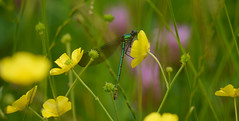 Bottle green (jump for joy2010) Tags: uk england green nature june female wildlife meadow insects somerset damselflies odonata 2015 calopterygidae hayfields bandeddemoiselle calopteryxsplendens riversidewalk riverbrue easthuntspill