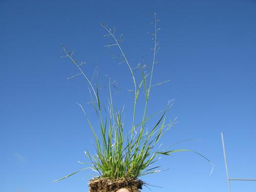 Eragrostis alveiformis plant4 NWS