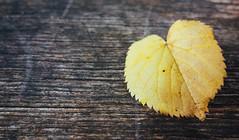 autumnheart (Feroswelt) Tags: fall autumn herbst vienna feroswelt loving love nature leaf blatt herz heart