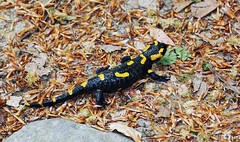 Salamandra in the forest (Majorimi) Tags: canon eos 70d digital color colorful nice hungary animal black yellow forest greenery ground terra reptile salamandra