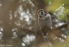 Hkuggla, Northern Hawk-Owl (Surnia ulula) (Hans Olofsson) Tags: bird birds fgel fglar hkuggla natur nature land surniaulula owl hawkowl nikonflickraward inforest