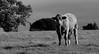 Mexican Standoff (robin denton) Tags: bullock cow field farming livestock bw blackwhite blackandwhite monochrome mono farmanimal