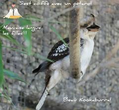 Ce beau Kookaburra et moi nous vous souhaitons un agrable vendredi. (liliane776.) Tags: kookaburra