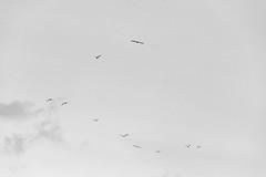 Sunset (lorenzoviolone) Tags: animals bw blackwhite blackandwhite d5200 dslr fujifp3000b monochrome nikon nikond5200 redcarpet reflex romaff11 vsco vscofilm auditorium auditoriumparcodellamusica birds clearsky clouds filmfest flyingbirds grainy sky streetphoto streetphotobw streetphotography roma lazio italy