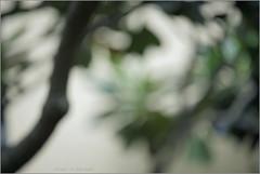 frangipani .. (nevil zaveri (thank you for 10 million+ views :)) Tags: zaveri wilderness nature gujrat india photography photographer images photos blog stockimages photograph photographs eru navsari gujarat nau nevil defocus nevilzaveri stock photo trees bokeh frangipani