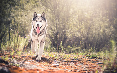 Apach (camel.arnaud) Tags: chien dog husky malamute light flare lumire couleurs colors summer sony a65 happy