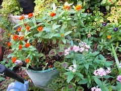 My Front Garden (dog.happy.art) Tags: flower flowers flowering bloom blooms blooming plant plants garden coleus vinca penta zinnia houston