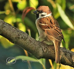 Tree Sparrow. (Olive Taylor. Thank you for your visit.) Tags: treesparrow birds beaks wildlife woodland wild northumberland northeastengland nature feathers flikcr canon