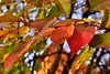Cherry-leaves (Zsofia Nagy) Tags: autumn flickrlounge weeklytheme cherry tree leaves colors color colourful foliage d3100 depthoffield dof closeup