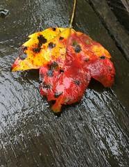 Swallow Falls SP ~ bright leaf - HTT! (karma (Karen)) Tags: swallowfallssp garrettco maryland mdstateparks leaves fallcolor texture htt iphone