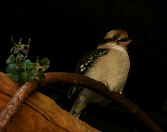 Kookaburra (Emily K P) Tags: vilas zoo animal madison bird kookaburra laughing