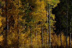 _DSC8356 (DianeBerky19) Tags: nikondf wy jacksonholewyoming trees aspen