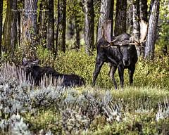 Bull Moose And Cow (Hawg Wild Photography) Tags: moose wildlife nature animal animals jacksonholewyoming grand teton tetons national park terrygreen nikon nikon200400vr d810